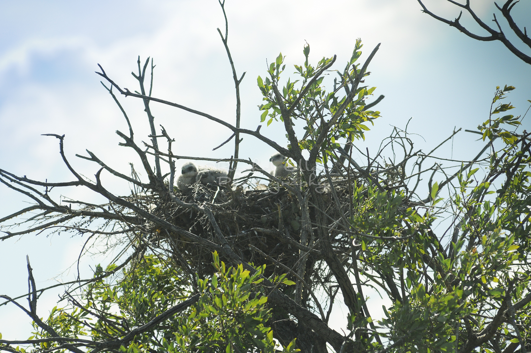 baby hawks in their nest