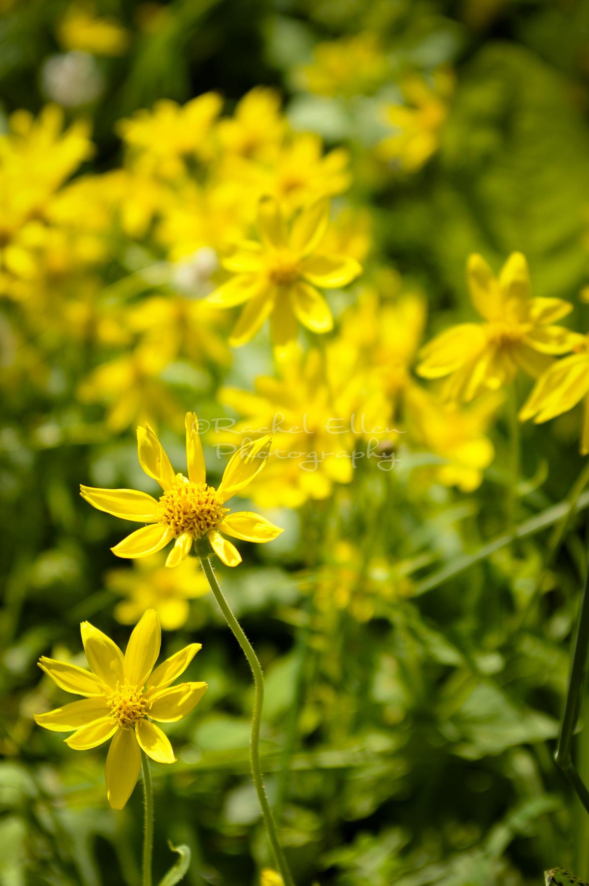 alberta wildflowers of the foothills