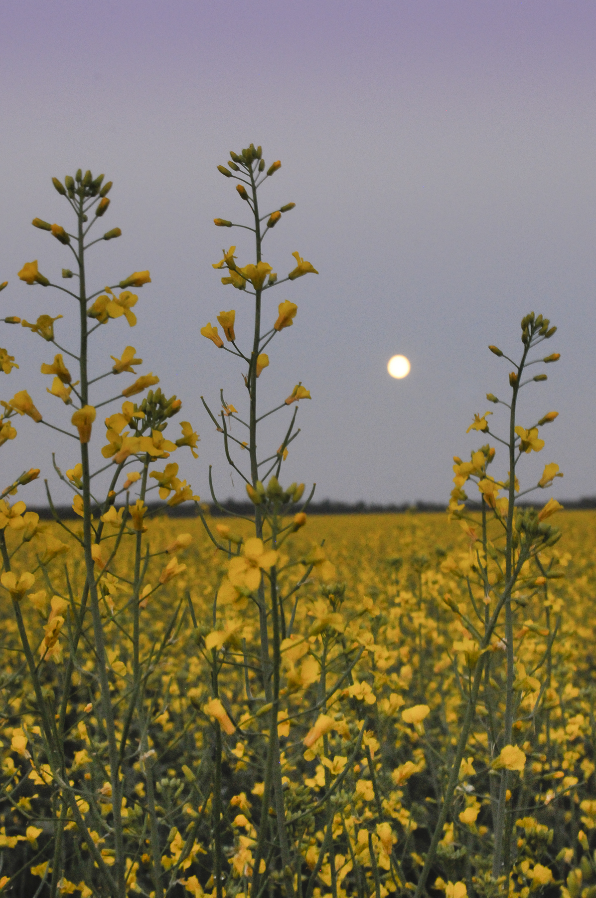 Full Moon over canola field
