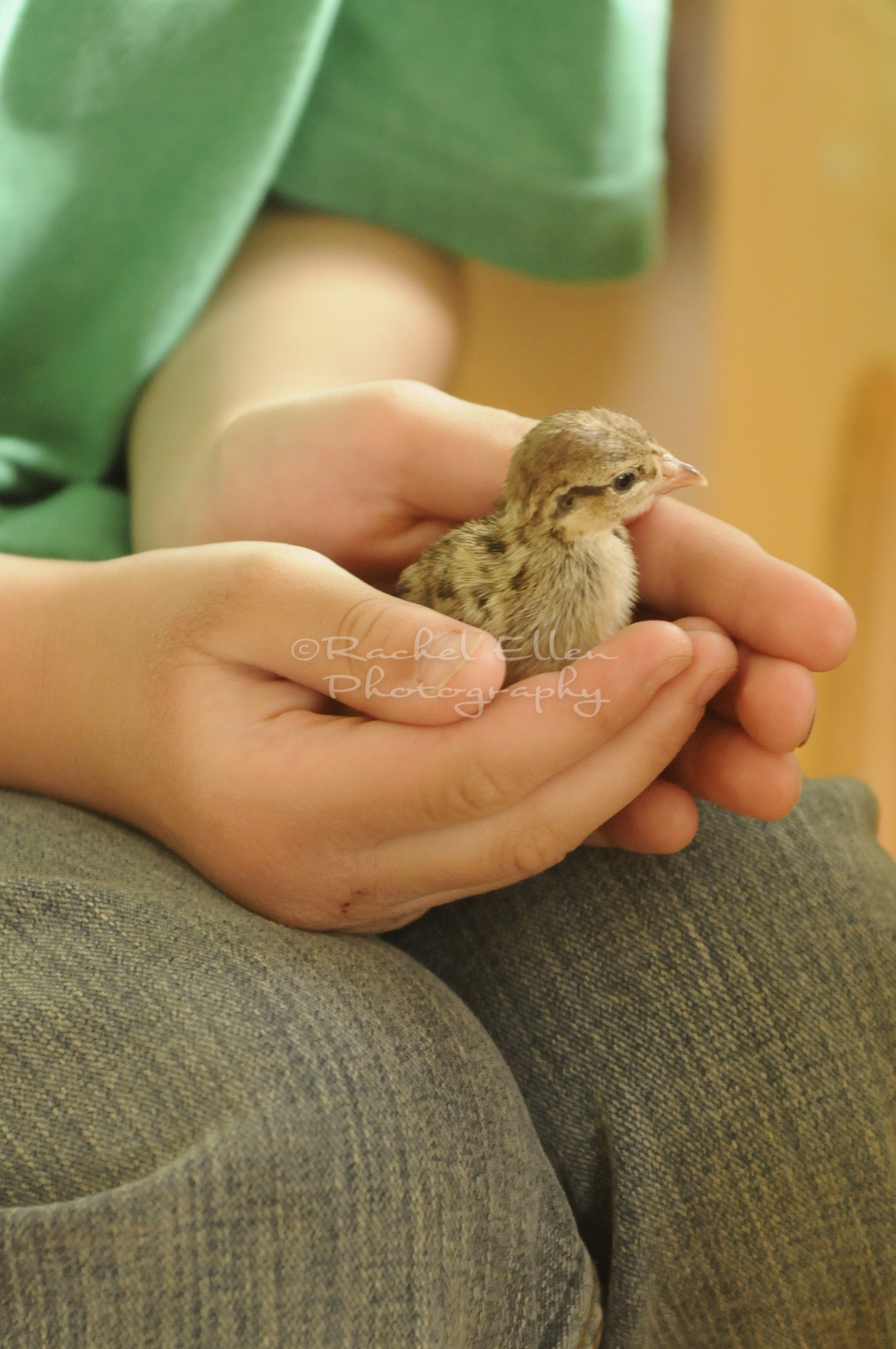 baby chick in child's hands