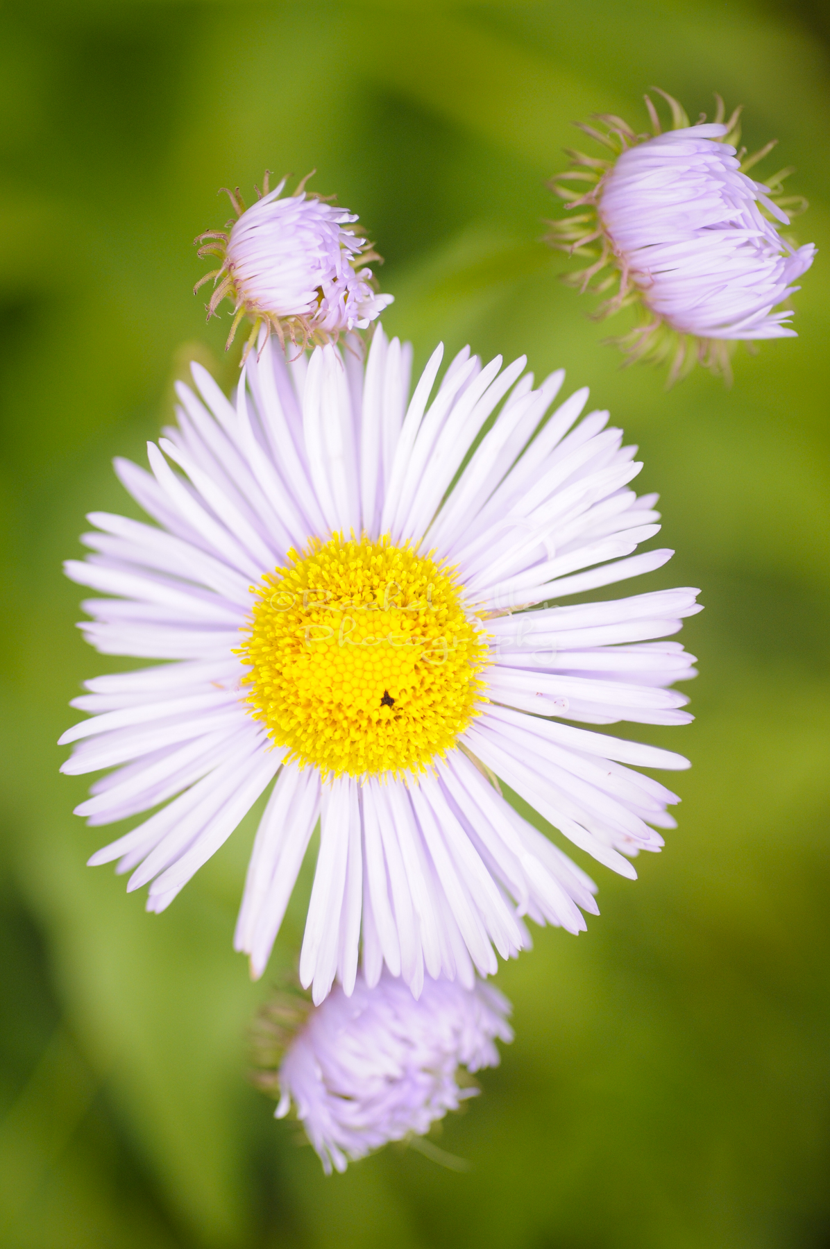 Fleabane wildflower
