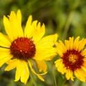 Blanketflower wildflowers