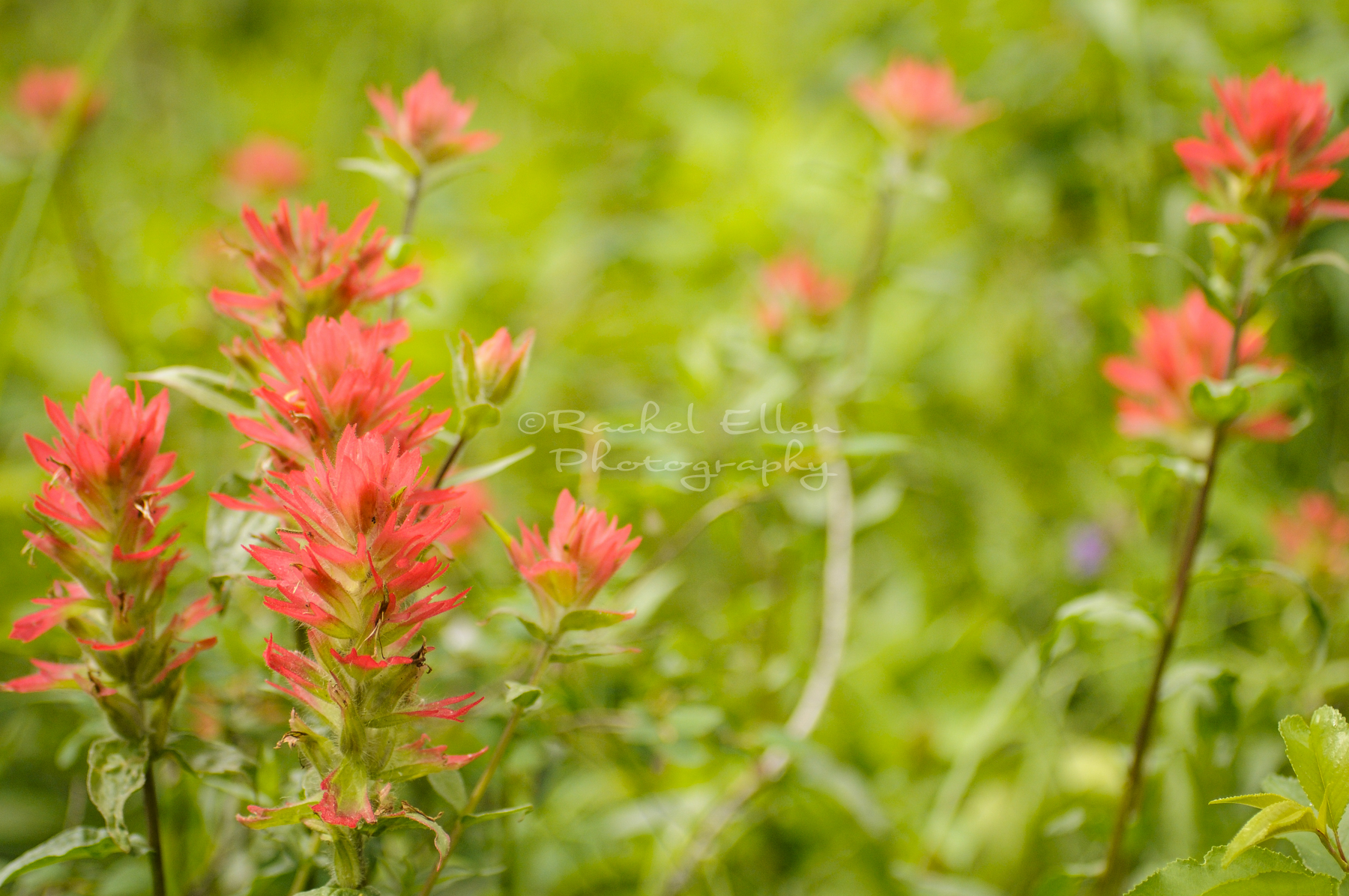 Paintbrush wildflowers