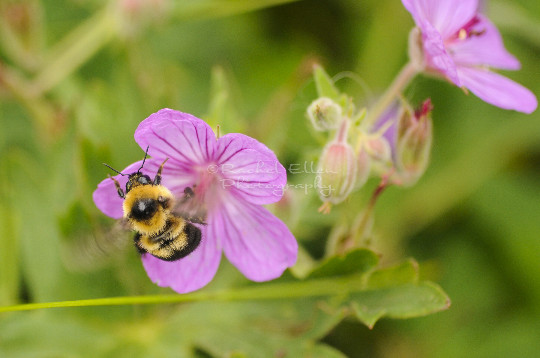 Wild Bumblebee on Northern Crane's-Bill
